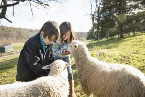 Two children at an animal sanctuary, in a paddock feeding two sheep.